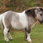 Шетлендский пони: особенности породы